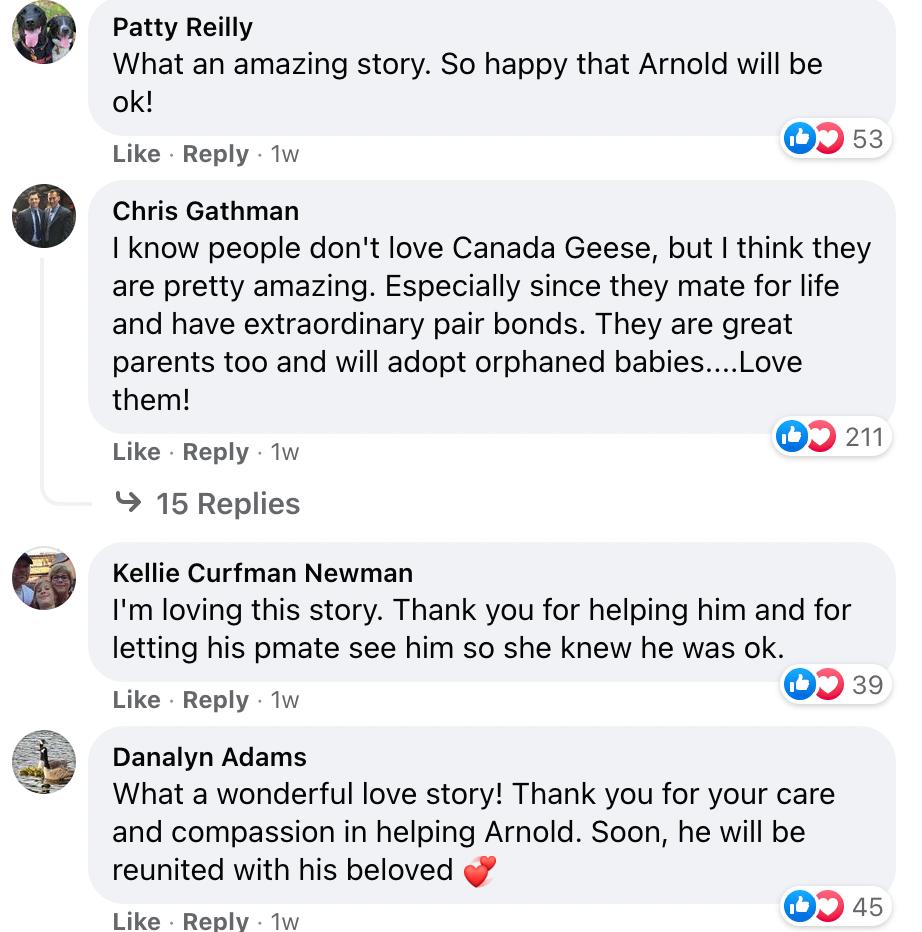 医院给一只加拿大鹅做手术时,他媳妇找上门了,一直在外面守着,每天都来探望...